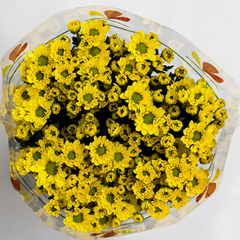 Chrysanthemum Super b