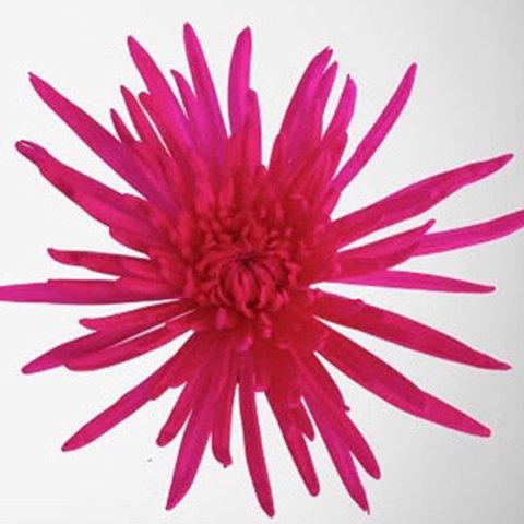 Tinted Anastasia White Pink