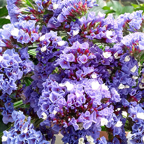 Statice purple