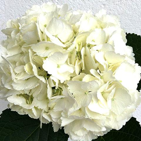 Jumbo White