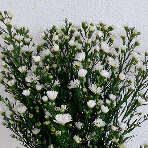 Spring aster white