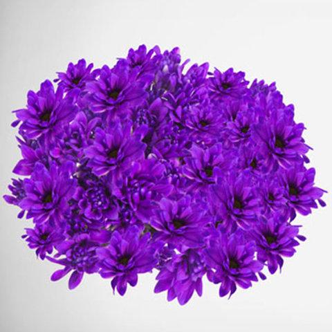Tinted Chrysanthemum Purple