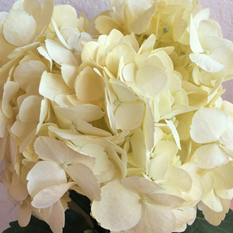Hydrangea Light Yellow