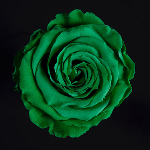 Tinted Green Rose
