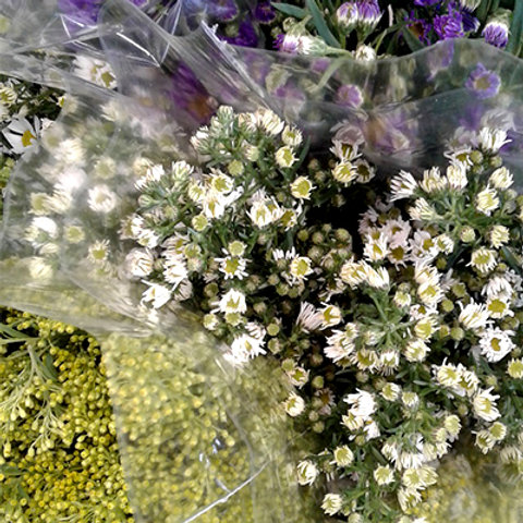 Aster white purple yellow