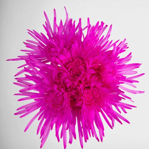 Tinted Delistar Pink
