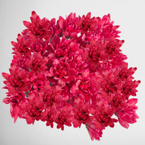 Tinted Chrysanthemum Red