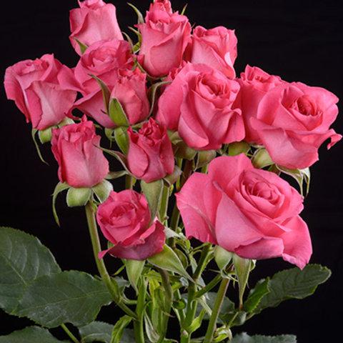 Twinkle Rosever
