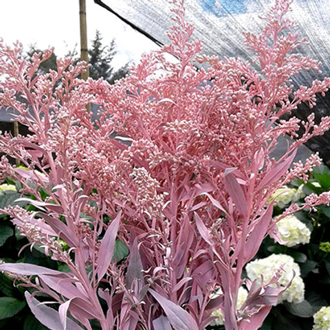 Solidago light pink