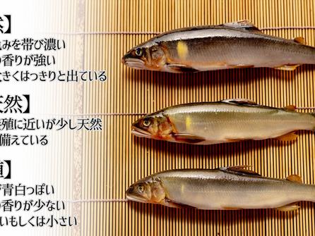 鮎 天然と養殖の説明 目利き 踊り串の打ち方 塩焼き