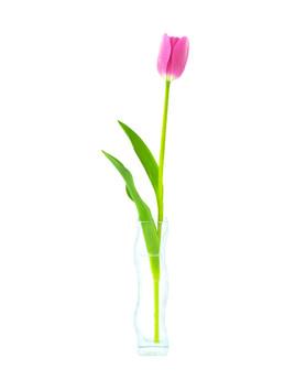 Tulipan na białym tle