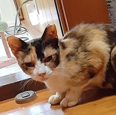 三毛猫(2歳)女の子