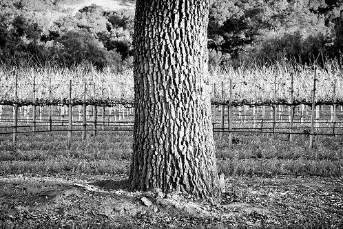 14 CALIFORNIA - TREE & VINEYARD