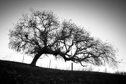9 CALIFORNIA - LEANING TREE