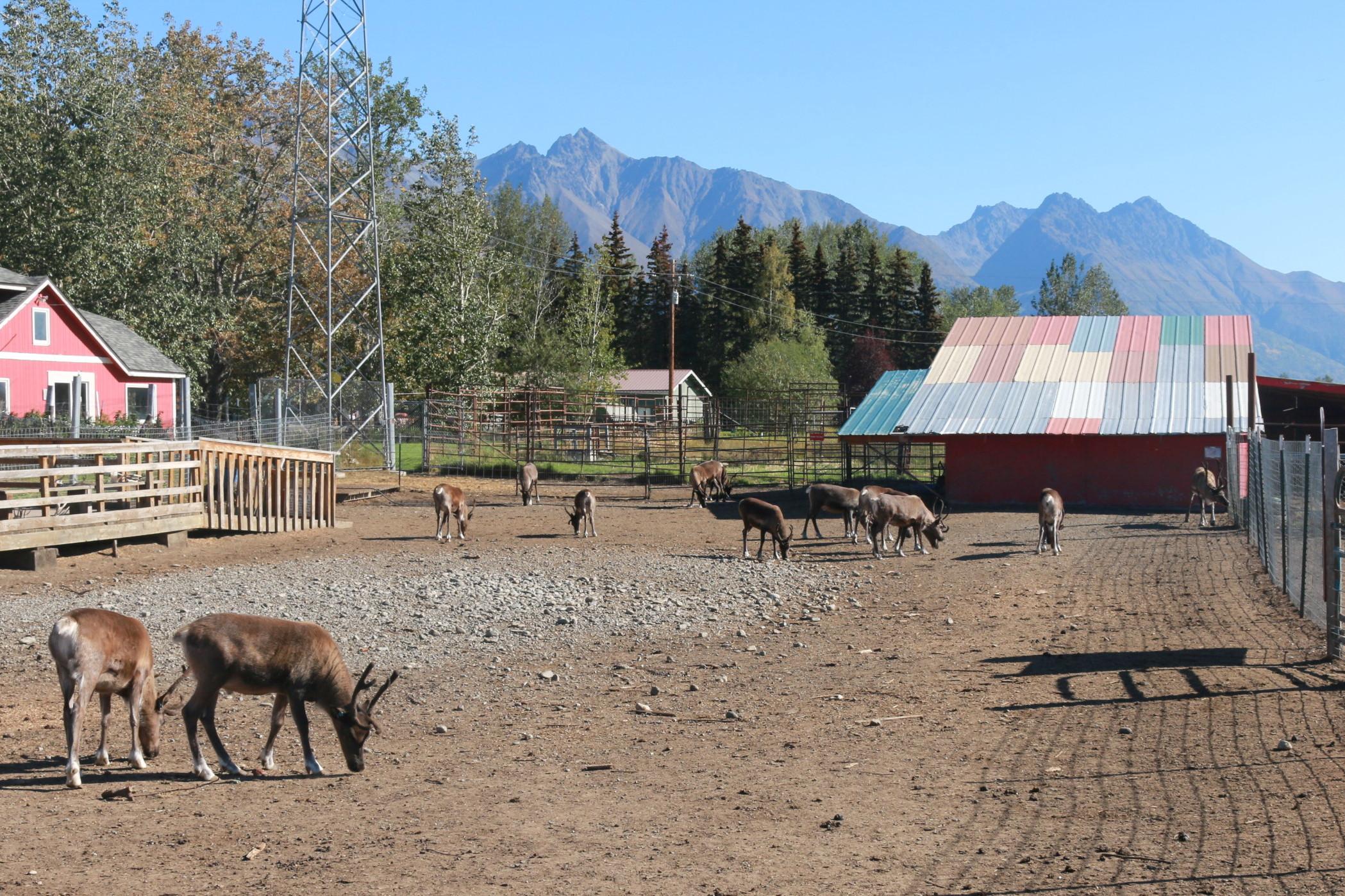 Ферма северных оленей