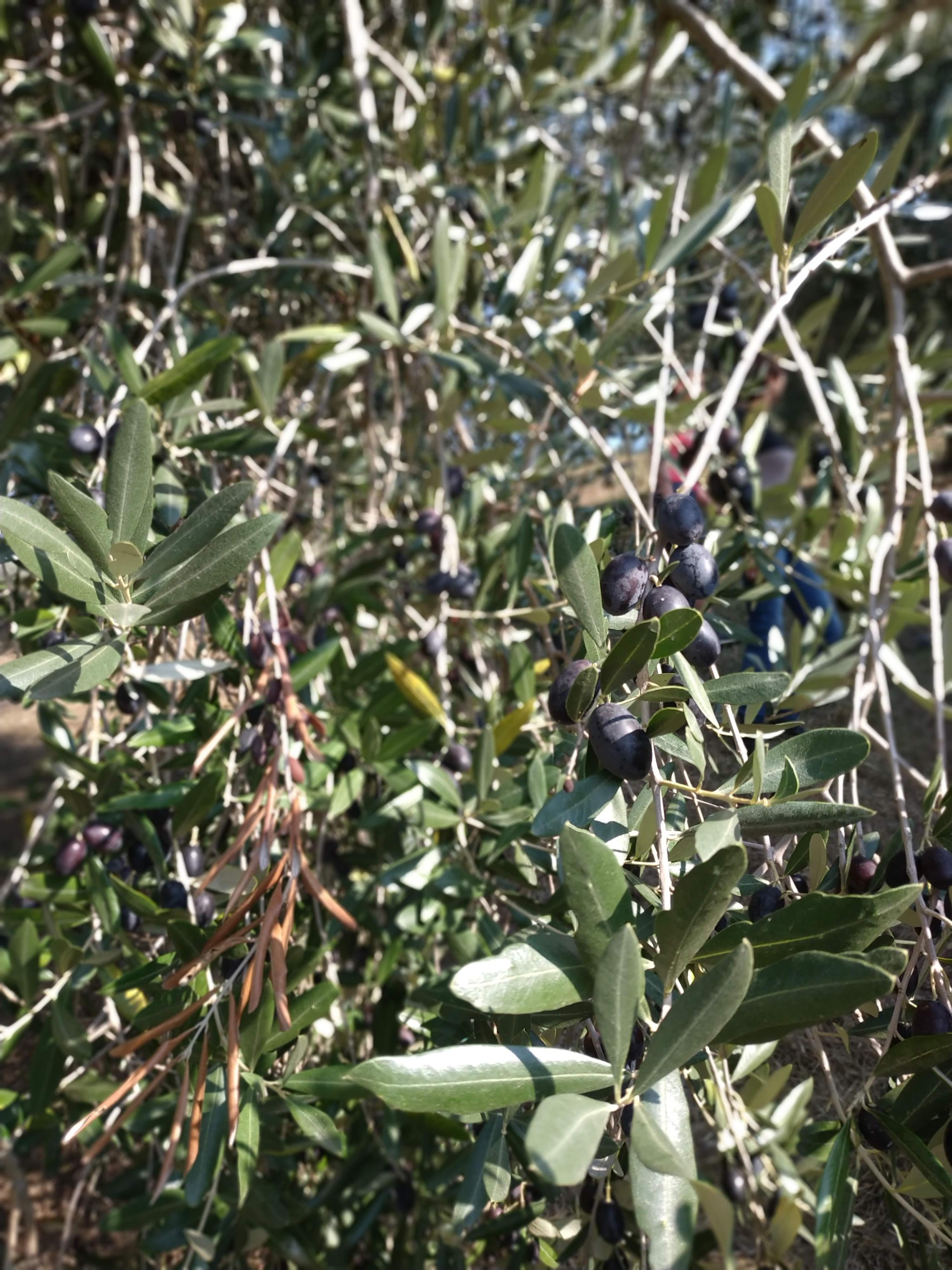raccolta olive Abbruzzetti