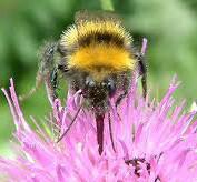 Bumblebee Aware - August 2021