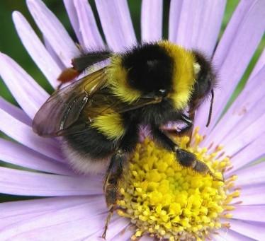 Bumblebee Aware - May 2021