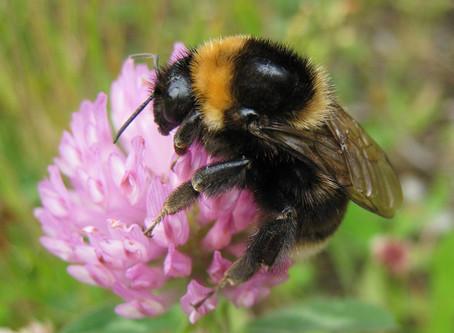 Bumblebee Aware - September 2020