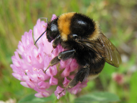 Bumblebee Aware - September 2020