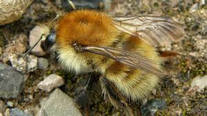 Bumblebee Aware - February 2021