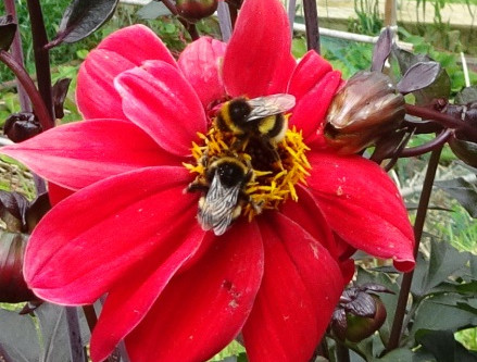 Bumblebee Aware - October 2020