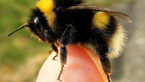 Bumblebee Aware - October 2021