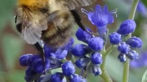 Bumblebee Aware - September 2021