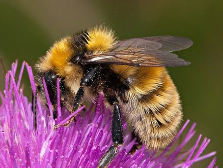Bumblebee Aware - December 2020