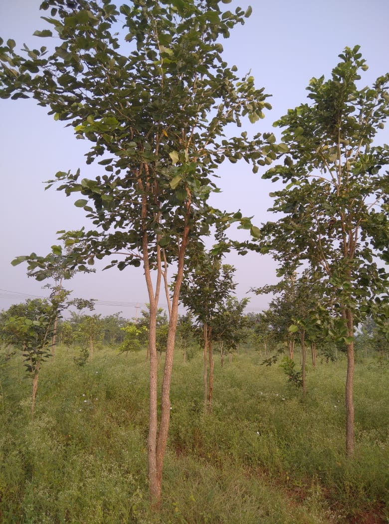 Redsandal Trees.jpeg