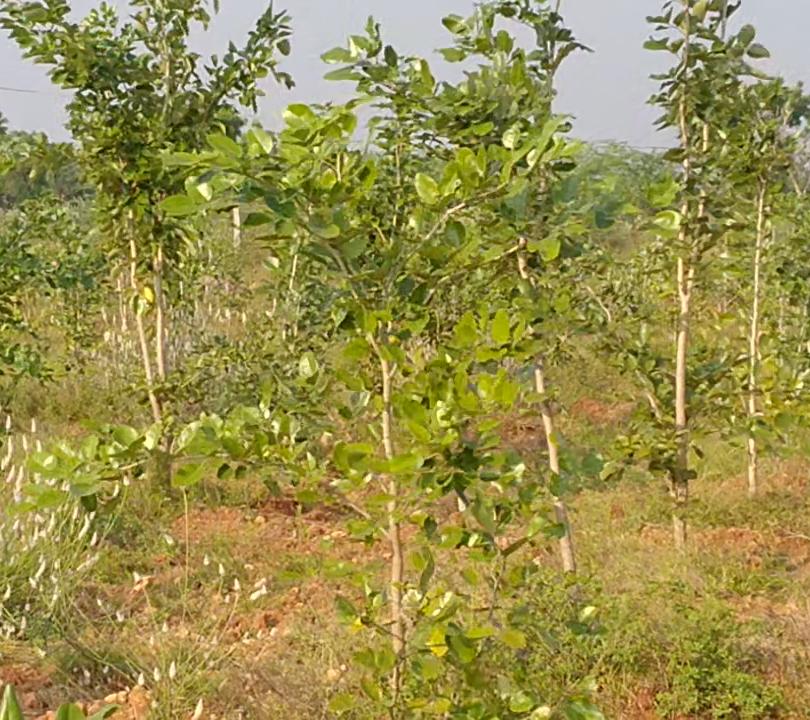Tummagunta Plantation