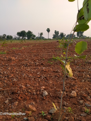 Doddichintala Plantation
