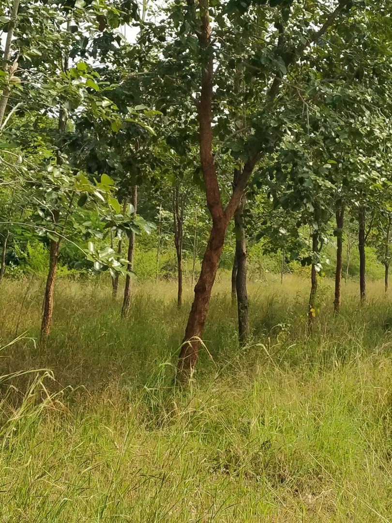 Chakirala 4 year trees