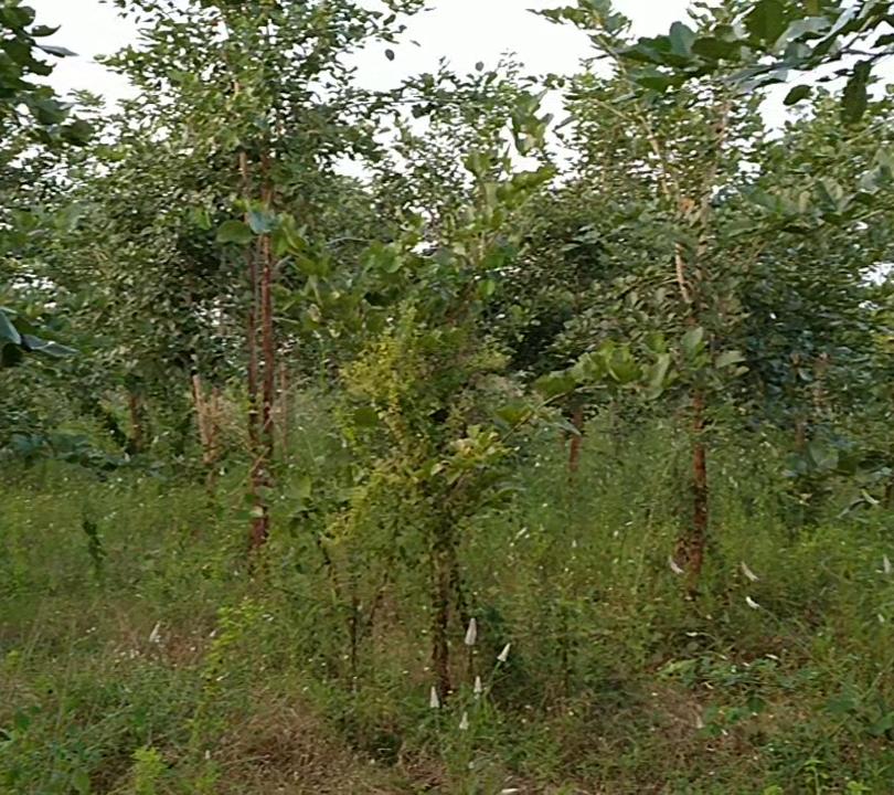 raktchandhan plantation.png