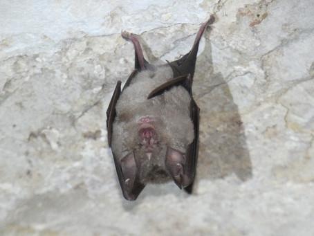 Amélioration des connaissances sur les Chauves-souris en Terres Gasconne et Landaise