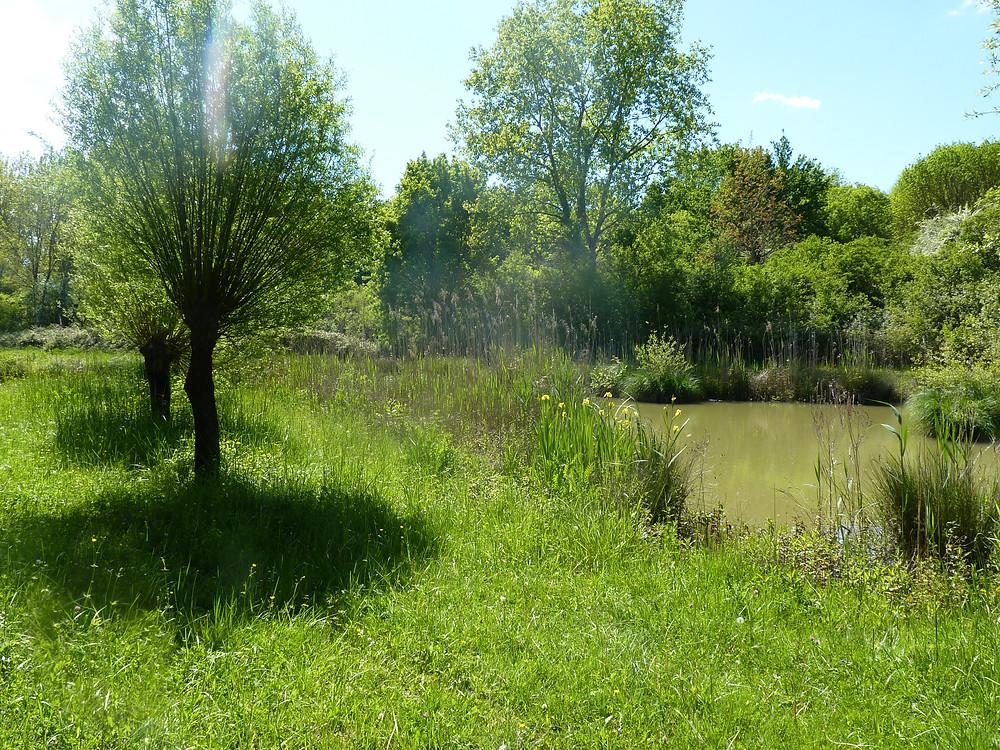 Saules têtards dans le marais - RNN de l'étang de la Mazière