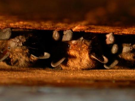 4. Découvrez les Chauves-souris du Lot-et-Garonne