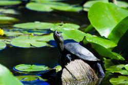 Cistude sur l'étang