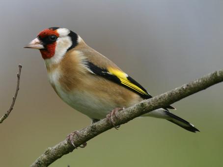Condamnation pour trafic d'oiseaux : une victoire pour la SEPANLOG !
