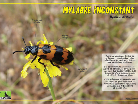 18. Mylabre inconstant