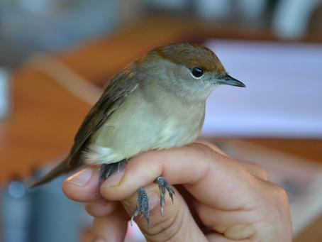 Baguage des oiseaux migrateurs : Bilan 2019