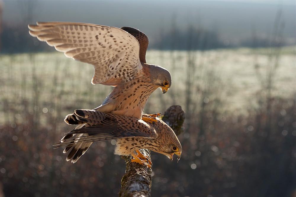 Faucon crecerelle/L. Joubert