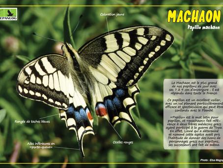 15. Machaon