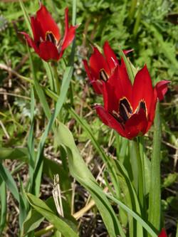 Tulipa agenensis basens