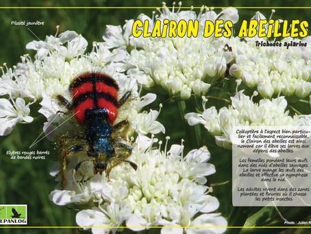 9. Clairon des abeilles