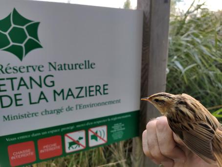 Baguage des oiseaux à la Mazière : une capture rare !