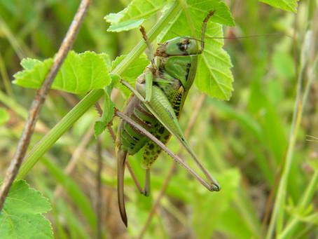 Un insecte rare observé en Lot-et-Garonne