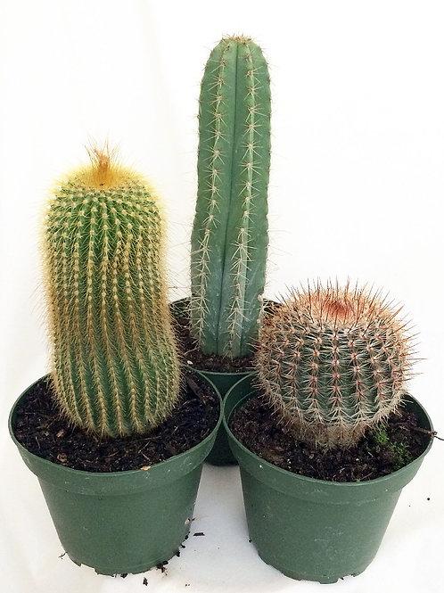 """Instant Cactus Collection - 3 Plants - 4"""" Pots"""