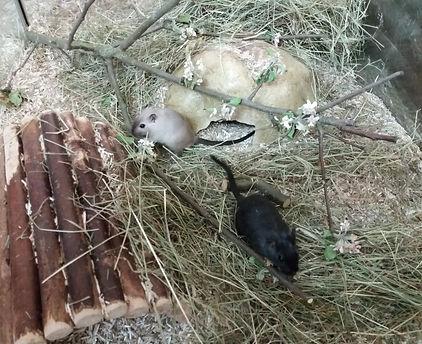 Kaninchen, Jungtiere, Löwenkof,