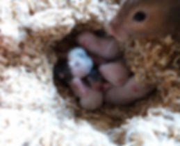 Syrische Hamster, Goldhamster